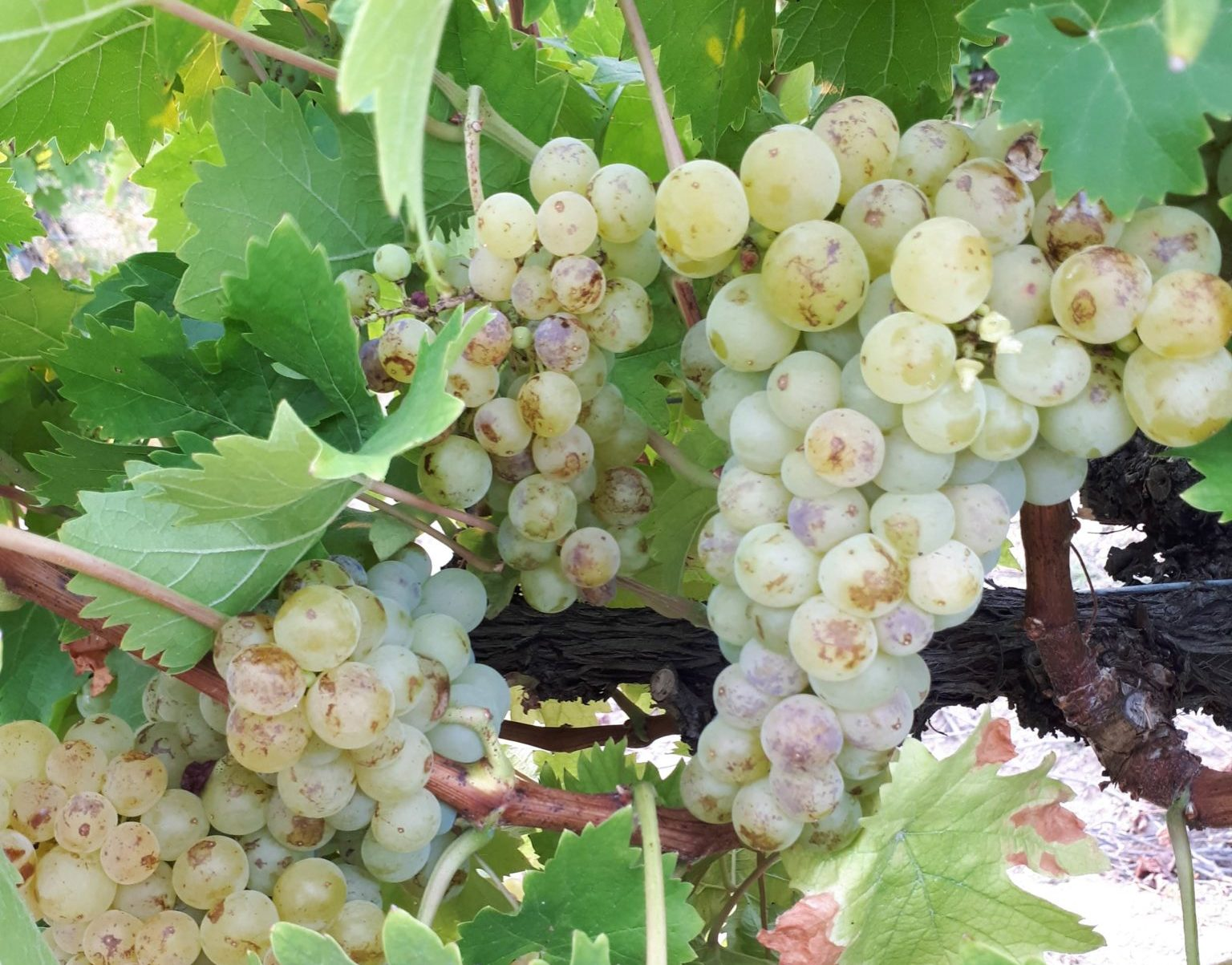 Furmint Noble Rot Photo copyright ©Papp Hideko