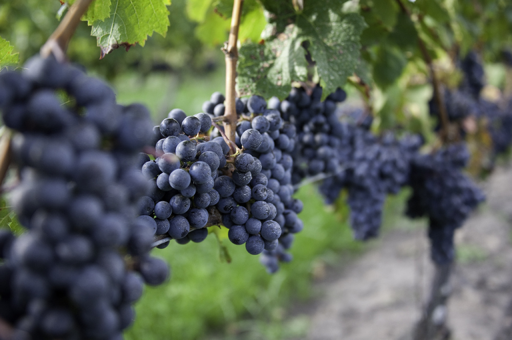 Cabernet franc (photo: Steve Courson/Flickr)