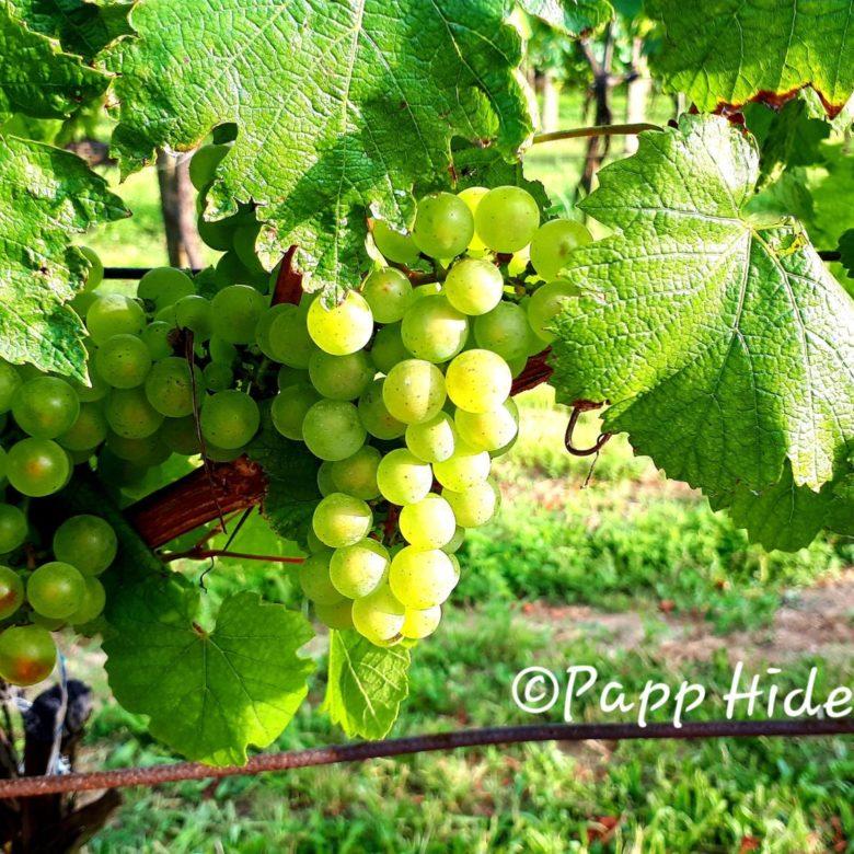 ハンガリーワイン ぶどう品種